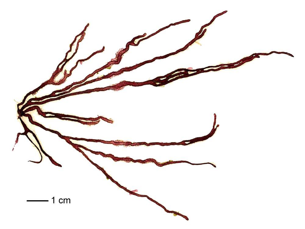 helminthoides nemalion